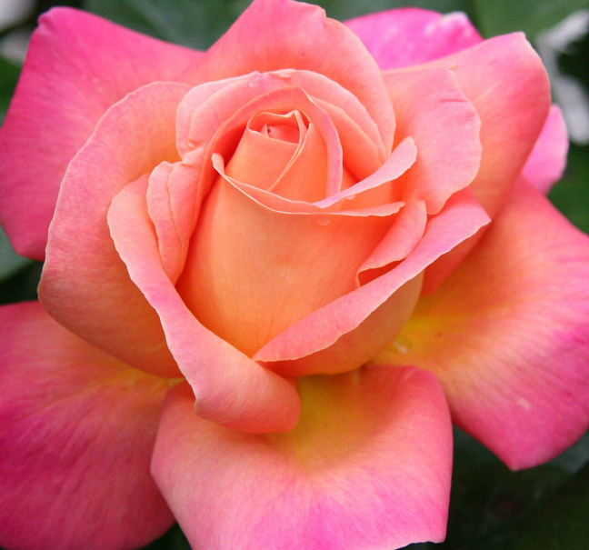 Banner Photo 82 The Extraordinary History Of Roses