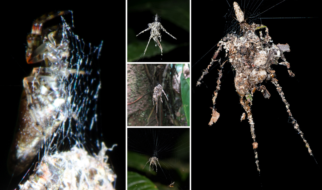 SpiderAmazon2 Video Shows Newly Discovered Spider In Amazon That Weaves Giant Spider Shaped Decoy To Scare Predators