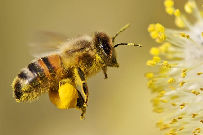 everything you need to know about bee pollen one of the most