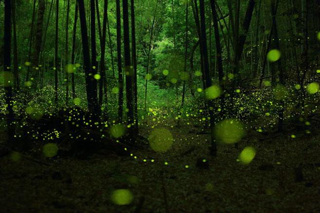 Fireflies4