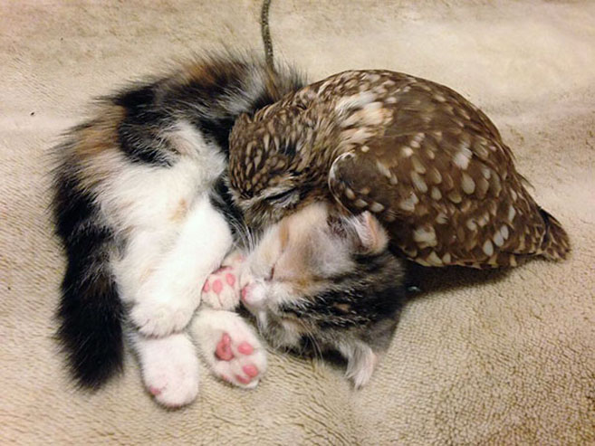 KittenOwl1