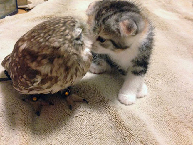 KittenOwl5