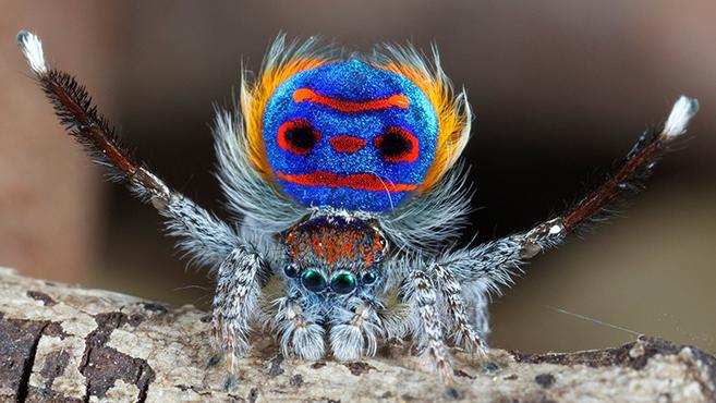 PeacockSpider99