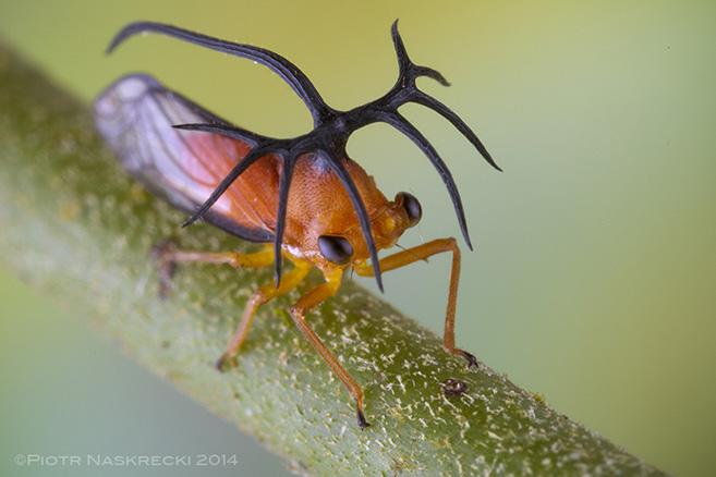 Treehopper11