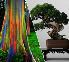 The Rainbow Forest of Eucalyptus Trees & World's Most Expensive Bonsai