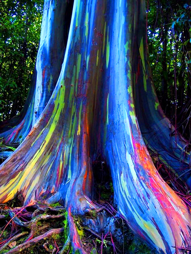 The Rainbow Forest of Eucalyptus in the Philippines