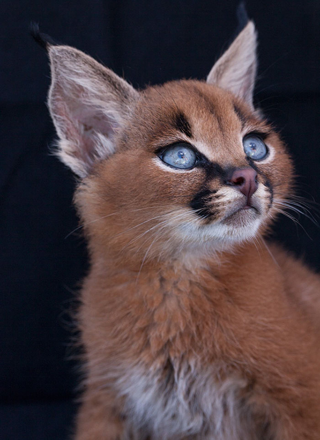 Everything You Need To Know About Owning A Caracal Kitten