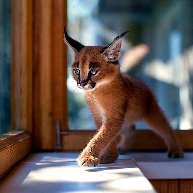 How to own and care for a Caracal kitten