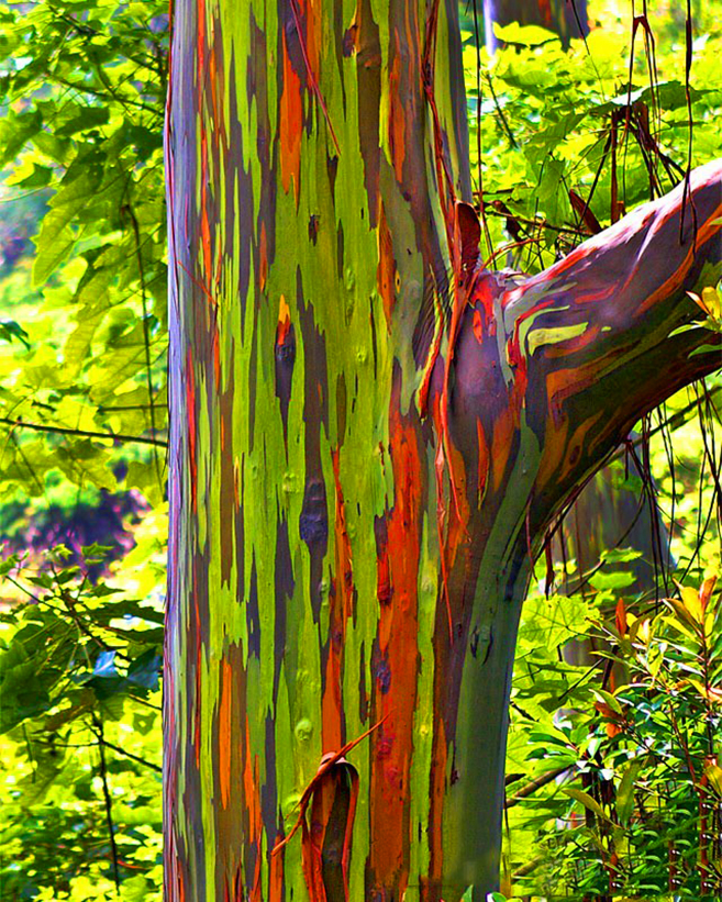 The Rainbow Forest Of Eucalyptus In Philippines